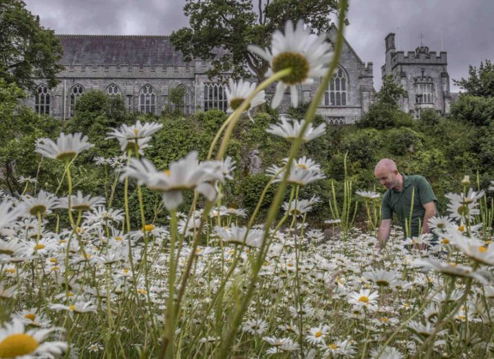 A meadow of white wildflowers in front of the old buildings of University College Cork.