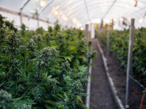 Greenheart CBD raises €4.5m to provide tech to hemp farmers