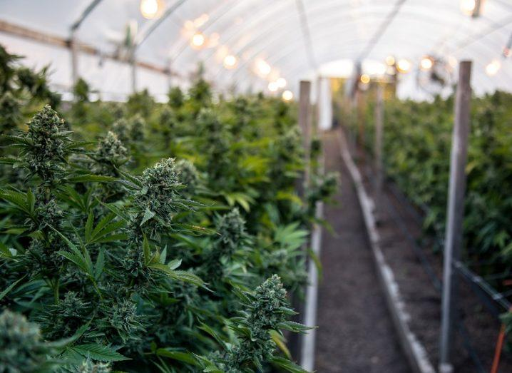 A close-up of marijuana plants growing in a polytunnel.