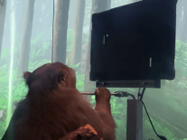 MindPong: Monkey uses brain implant to play virtual table tennis