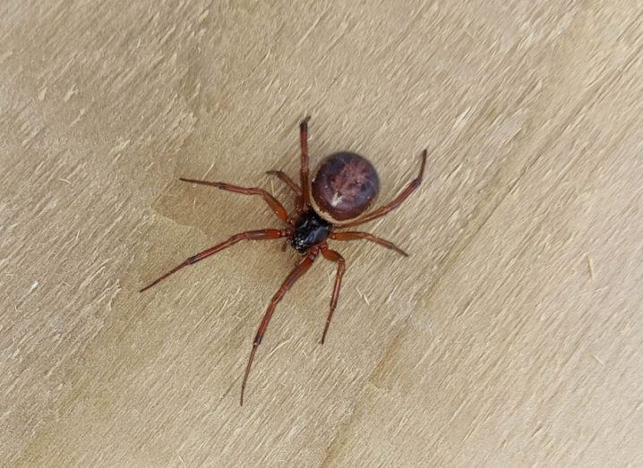 A noble false widow spider is on a wooden surface.