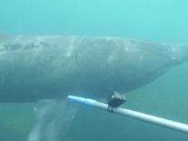 Endangered basking sharks get tagged by researchers off Cork coast