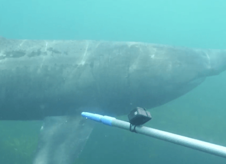 Underwater image of a basking shark, with a pole that is being used to tag the fish.