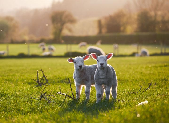 Two spring lambs in a field on a farm.