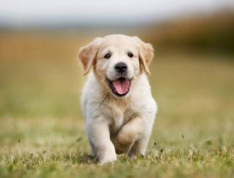 Puppies may be born ready to communicate with people