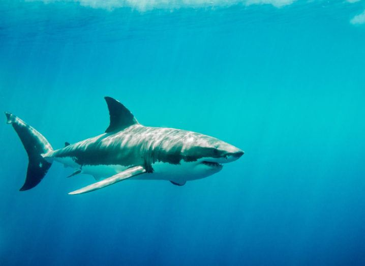 A great white shark is swimming in clear blue water.