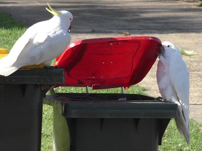 Two sulfur-crested cockatoos are pictured by a bin. One parrot is opening the bin with his beak while the other parrot watches.