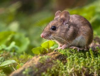 Mouse stem cells use same process as plants to stop viruses