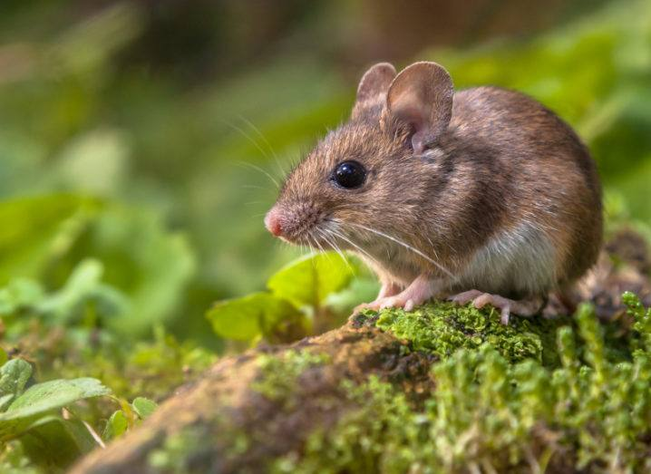 A wood mouse is pictured on a green forest floor. The mouse is standing on moss-covered wood with green leaves surrounding it.