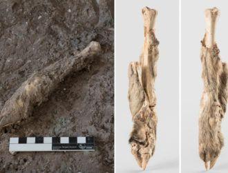 Ancient mummified sheep shows same genetic traits as modern breeds