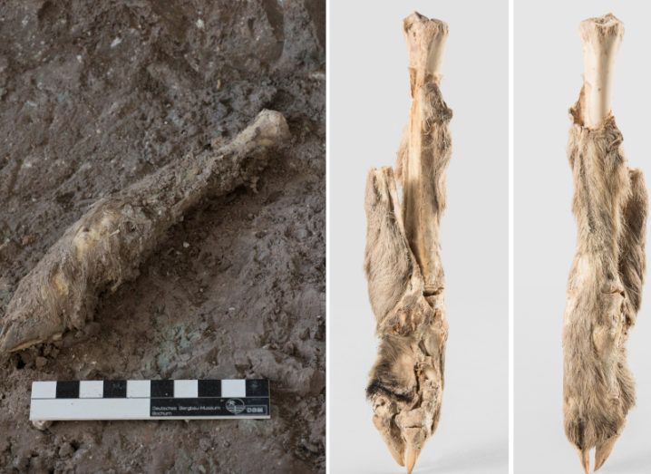 Two photographs are shown. On the left is the mummified sheep leg as it was found in the mine. On the right the sheep leg is pictured cleaned and preserved. The bone can be seen at the top while preserved hair covers most of the leg.