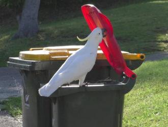 Parrots in Australia have learned to open bins from each other, research finds