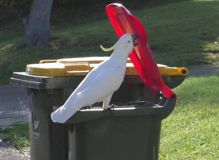 A white cockatoo is lifting a red bin lid with his beak. He is standing on the rim of the bin. There is grass in the background.
