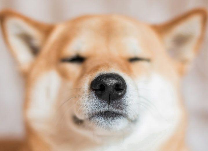 Close-up photo of a Shiba Inu dog with eyes closed.