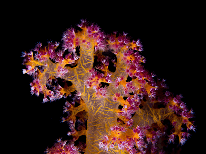A healthy piece of coral reef is shown, likely one that has recovered from a heat stress event using probiotic cocktails.