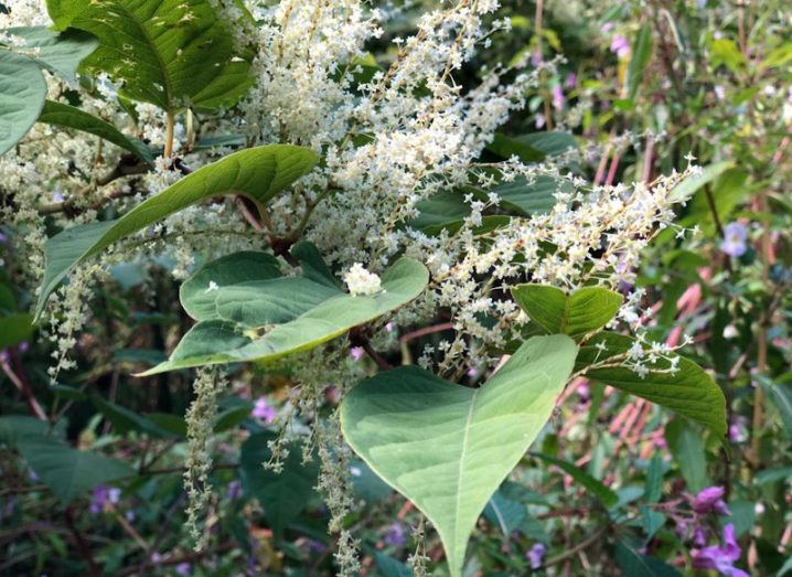 Japanese knotweed is pictured growing among many plants. There is a large leaf and small, white flowers with more foliage visible in the background.