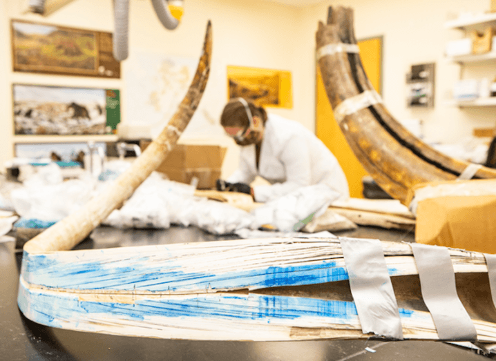 A split mammoth tusk can be seen at the Alaska Stable Isotope Facility at the University of Alaska Fairbanks. Karen Spaleta, the deputy director of the facility, is preparing a piece of mammoth tusk for analysis in the background. She is out-of-focus while the tusk is in the centre of the image.