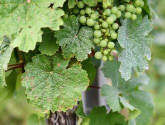 Facial recognition AI helps fast-track research in crop-ruining grape mildew