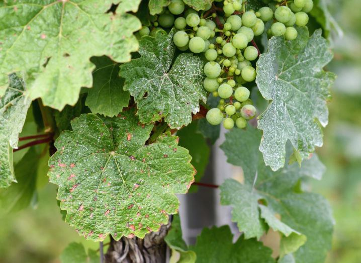 A grape vine infected with mildew fungal disease is shown. There are brown and white spots on the leaves and some grapes with a powdery white covering in the top right hand side of the image.