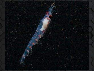 Scientists solve mystery of Arctic krill's ability to sync daily rhythms in darkness