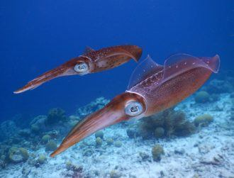 NUI Galway scientists use DNA analysis to crack squid mystery