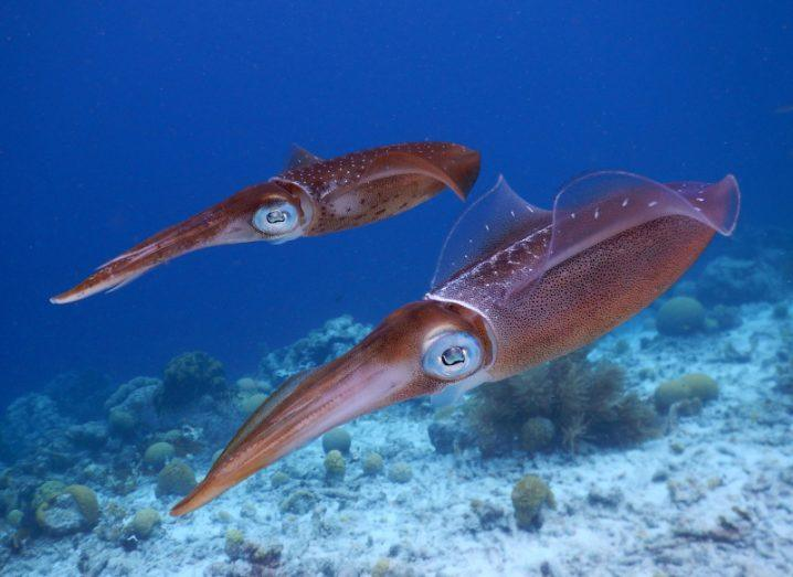 Two squids swimming close to the sea bed. Blue water surrounds them with underwater plants in the background.